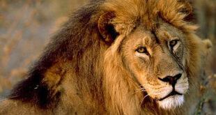 Лев и шакал