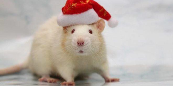 8 фактов о Крысе, год которой наступит 25 января